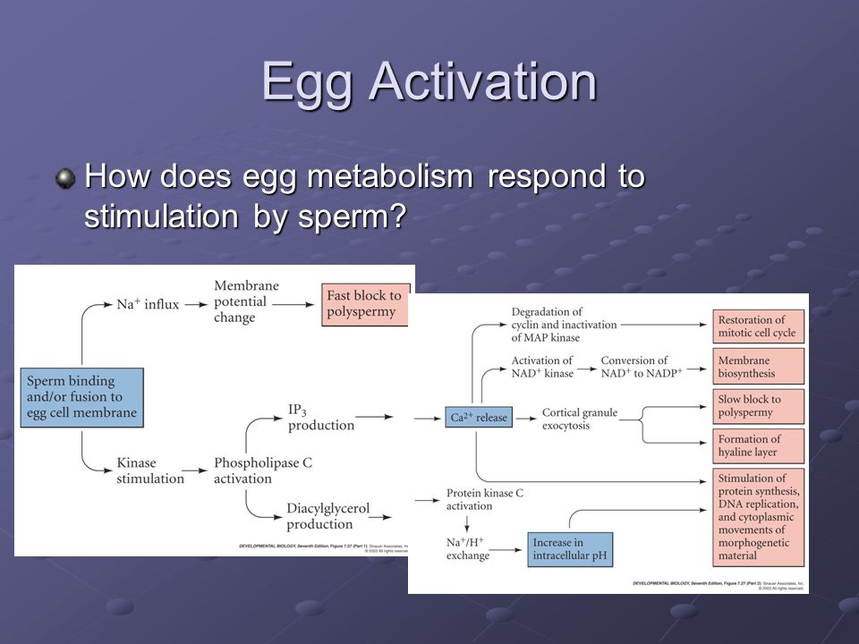 Egg Activation How does egg metabolism respond to stimulation by sperm?