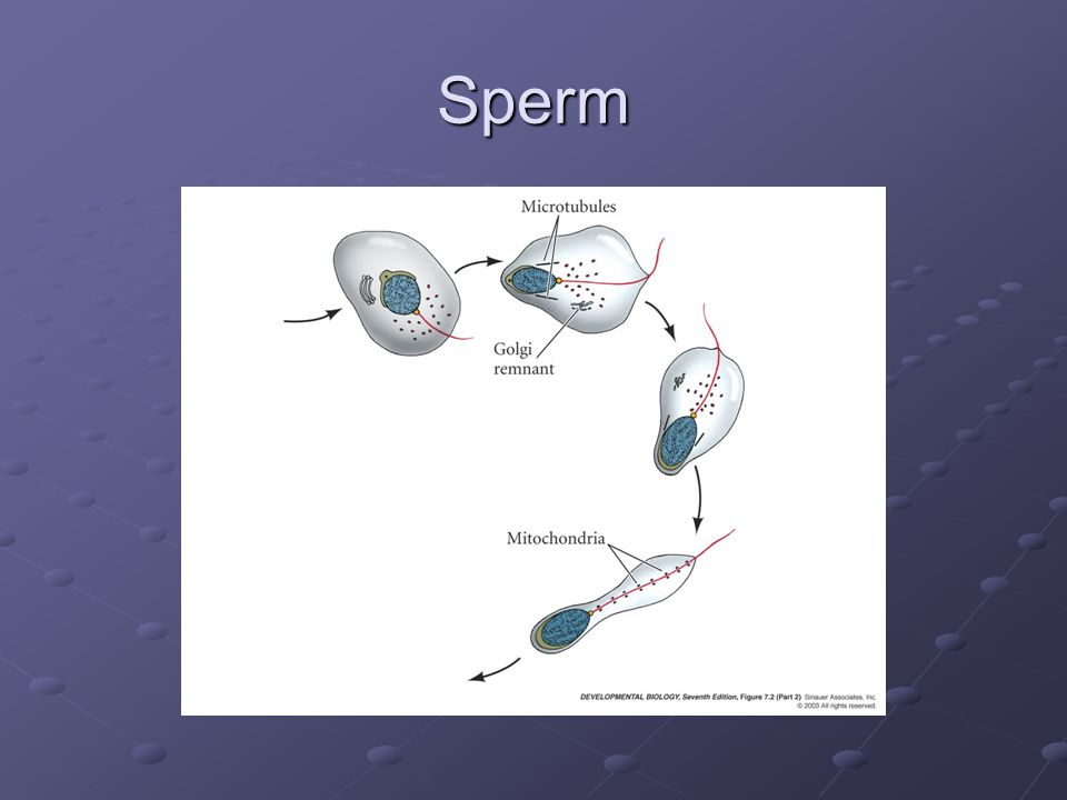 Sperm – Egg Interaction How does gamete recognition and binding occur in mammals?