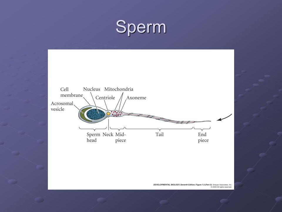 Sperm – Egg Interaction What follows the initial penetration of egg by the sperm?