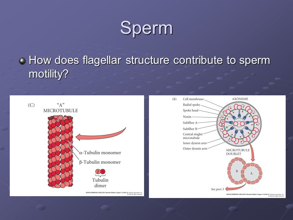 Sperm – Egg Interaction What makes this interaction in mammals different?