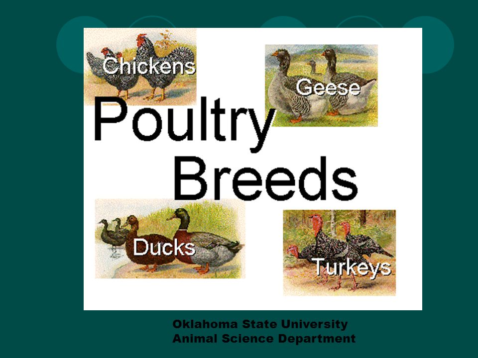 Today we will discuss CHICKENS.