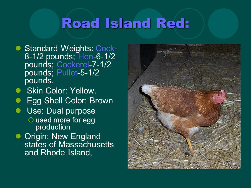 Araucana: Origin: South America Egg Shell Color: Blue to Greenish Uses: Ornamental Crossed with other U.S.