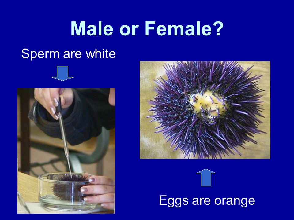 Male or Female Eggs are orange Sperm are white