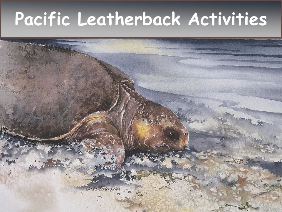 Success story: Atlantic green sea turtles were listed as endangered in 1978.
