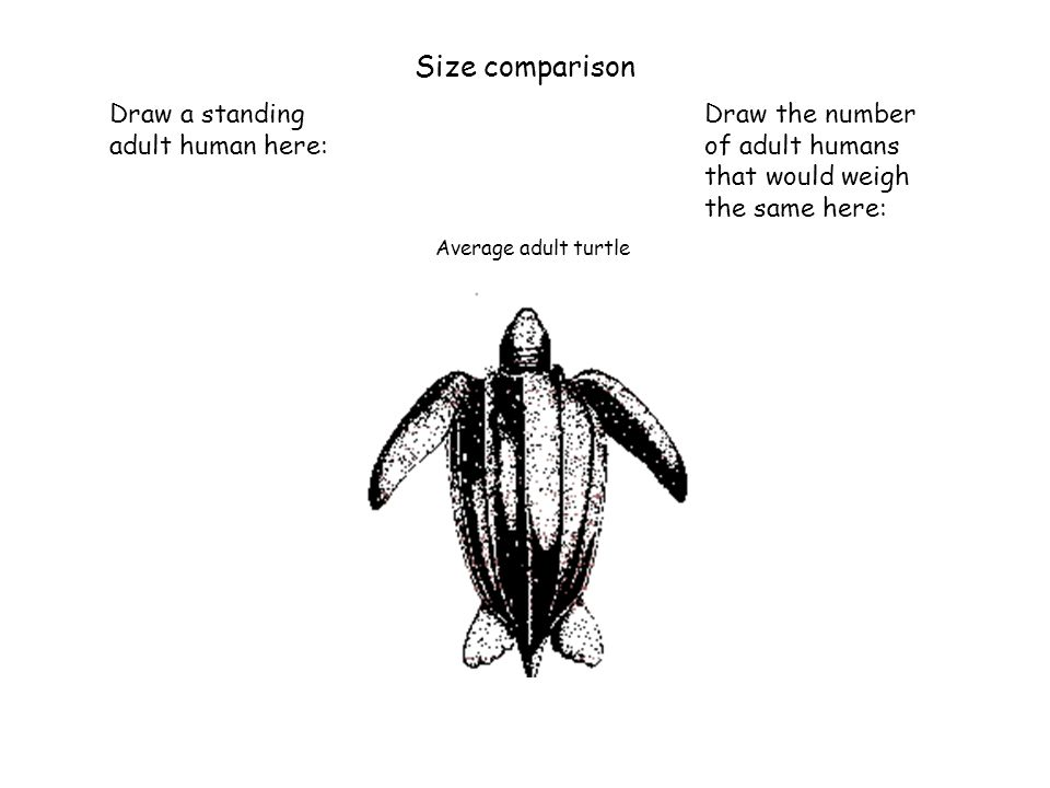 Size comparison Draw a standing adult human here: Draw the number of adult humans that would weigh the same here: Average adult turtle