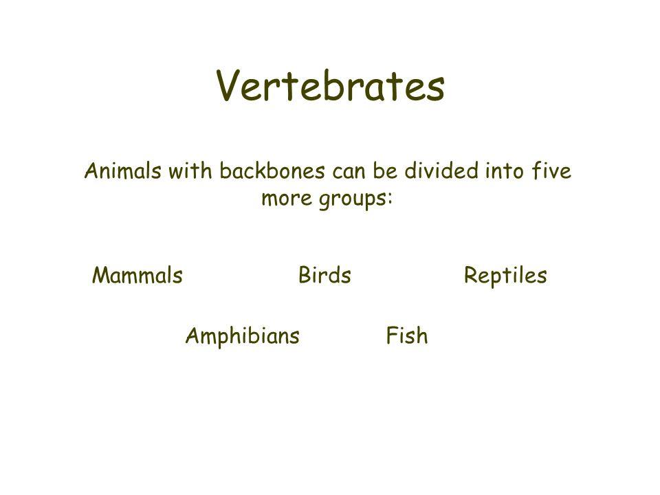 Vertebrates Animals with backbones can be divided into five more groups: MammalsBirdsReptiles AmphibiansFish