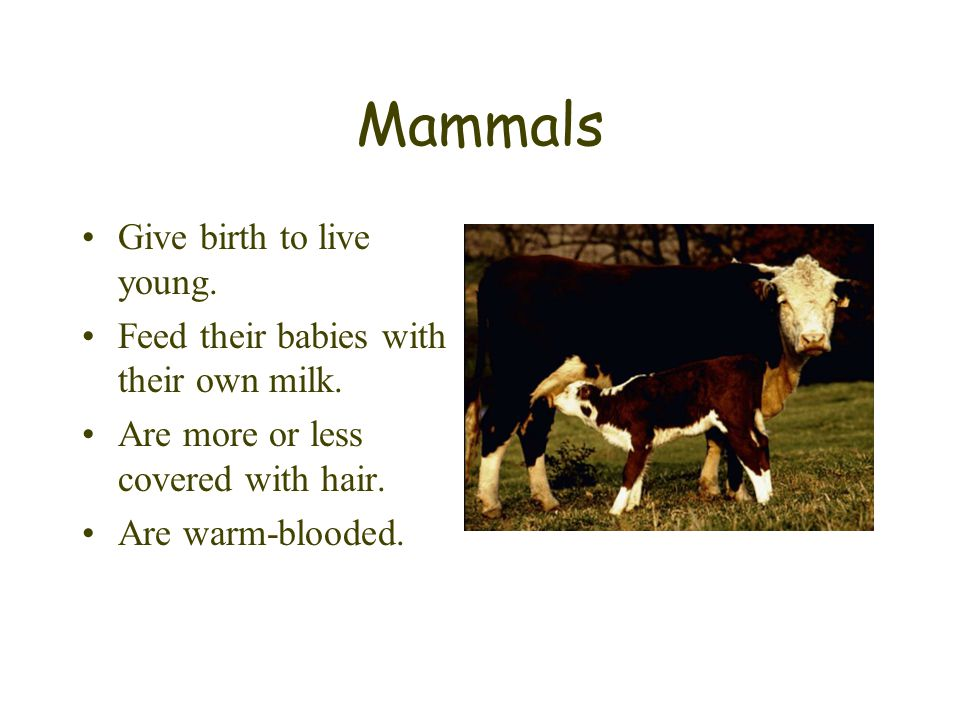 Mammals Give birth to live young. Feed their babies with their own milk. Are more or less covered with hair. Are warm-blooded.