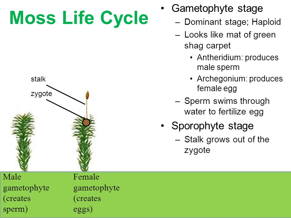 Moss Life Cycle Gametophyte stage –Dominant stage; Haploid –Looks like mat of green shag carpet Antheridium: produces male sperm Archegonium: produces