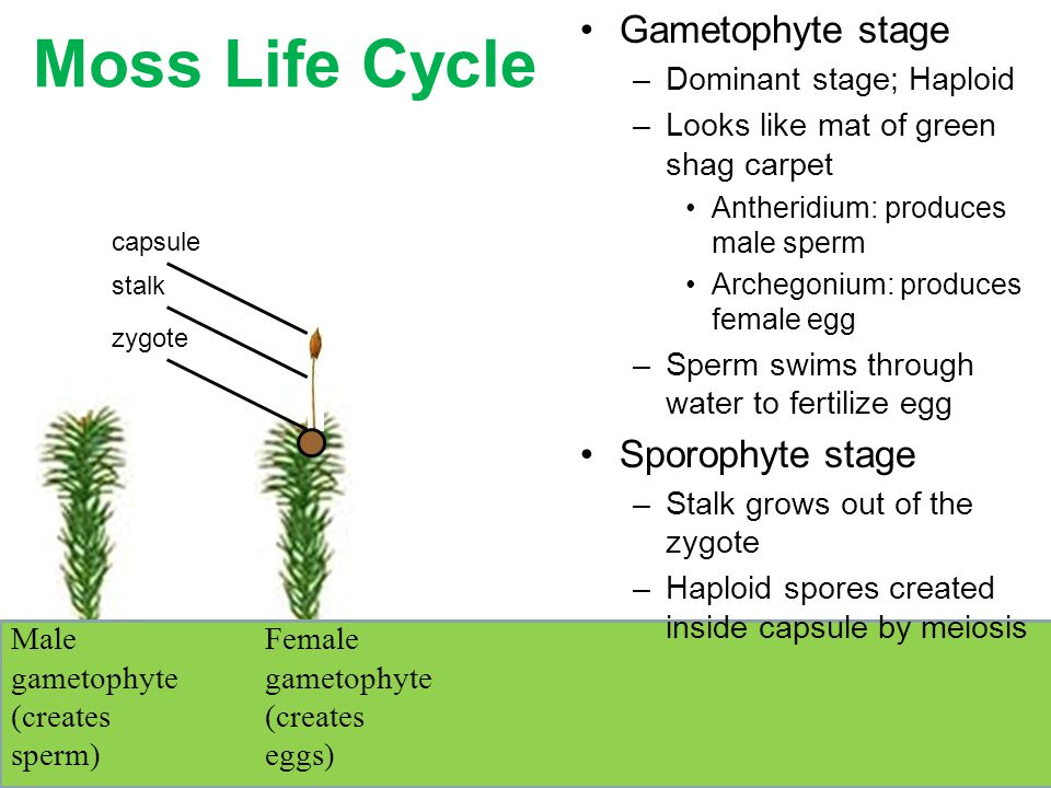 Moss Life Cycle Male gametophyte (creates sperm) Female gametophyte (creates eggs) zygote stalk Gametophyte stage –Dominant stage; Haploid –Looks like