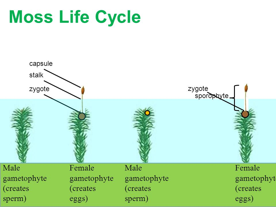 Moss Life Cycle See appendix B in your text book Male gametophyte (creates sperm) Female gametophyte (creates eggs) zygote capsule stalk Male gametoph