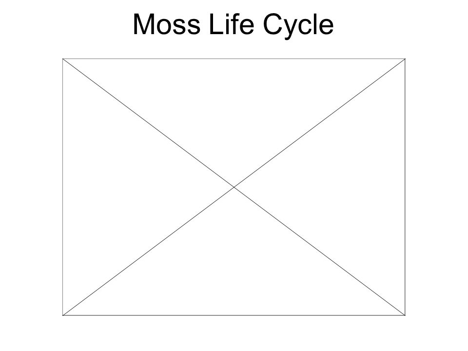 Moss Life Cycle Male gametophyte (creates sperm) Female gametophyte (creates eggs) zygote capsule stalk Male gametophyte (creates sperm) Female gameto