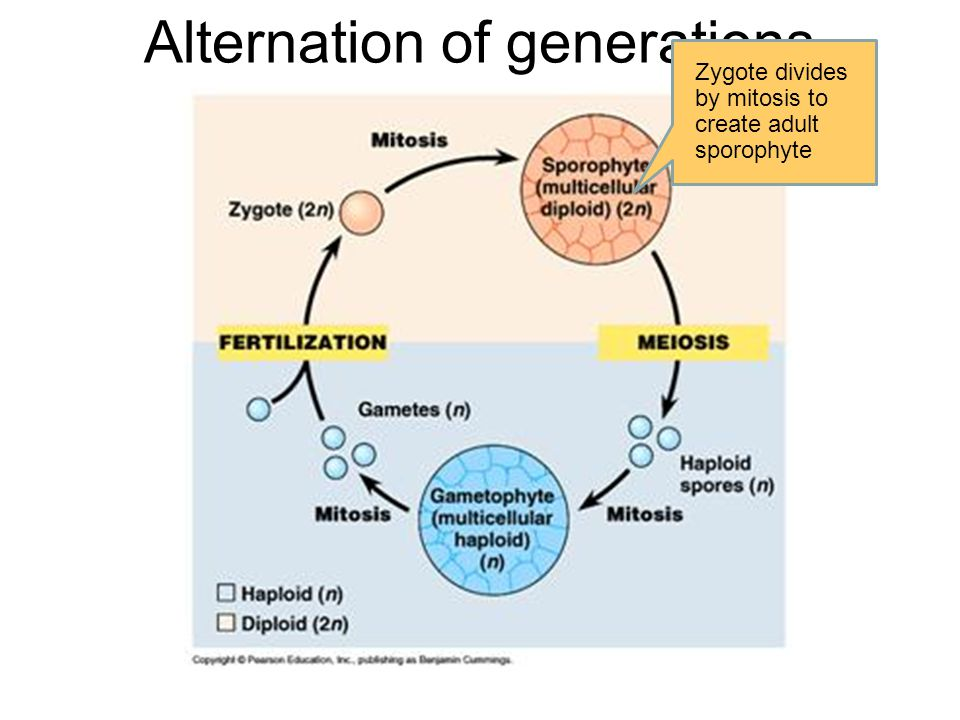 Alternation of generations Zygote divides by mitosis to create adult sporophyte