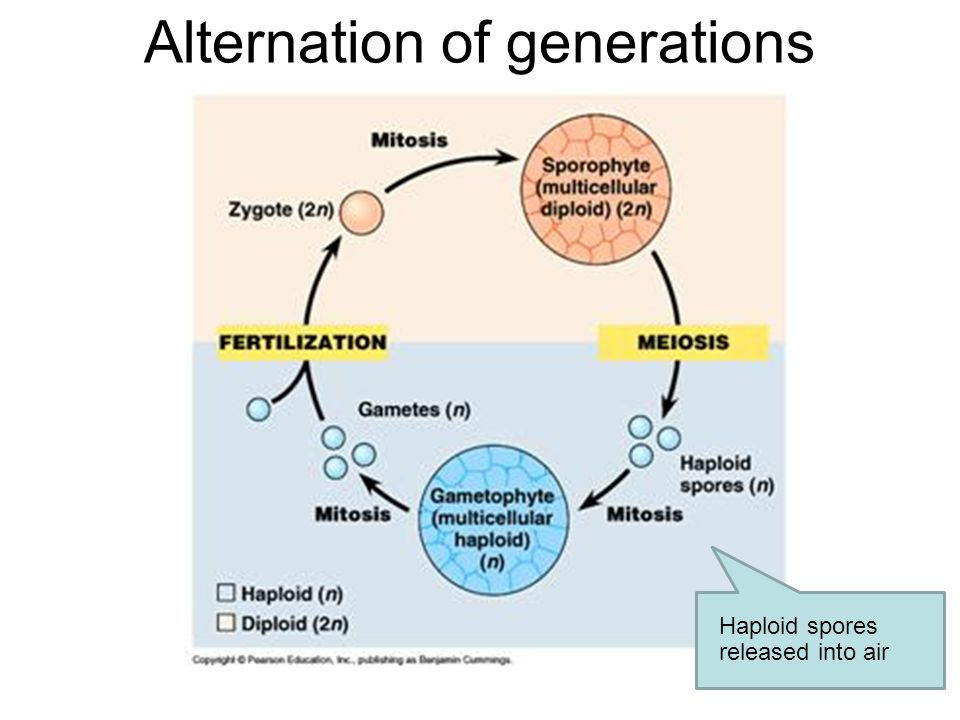 Alternation of generations Haploid spores created by meiosis