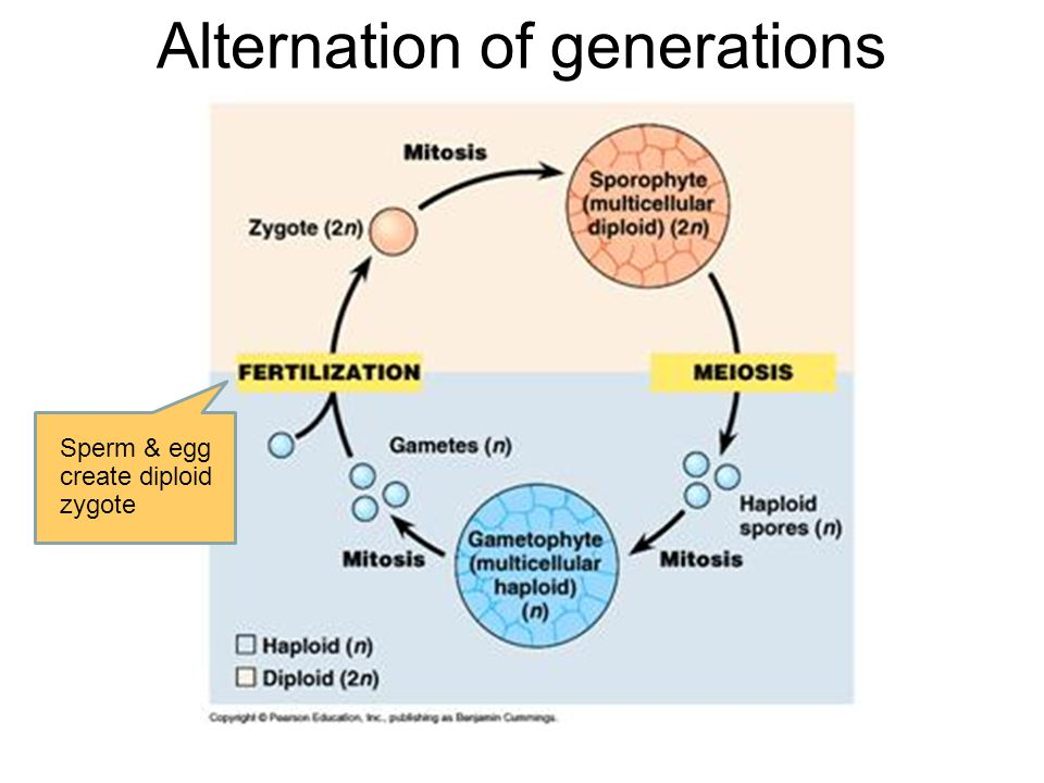 Alternation of generations Sperm & egg create diploid zygote