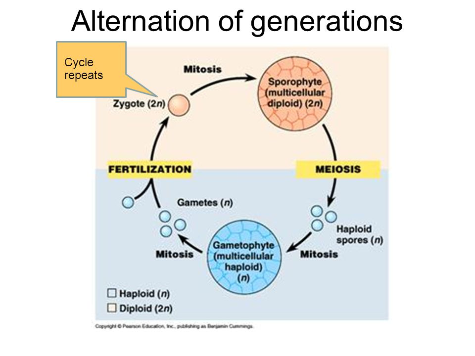 Alternation of generations Cycle repeats
