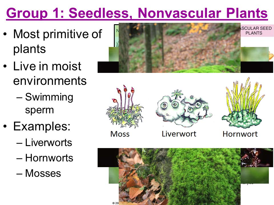 Group 1: Seedless, Nonvascular Plants Most primitive of plants Live in moist environments –S–Swimming sperm Examples: –L–Liverworts –H–Hornworts –M–Mosses