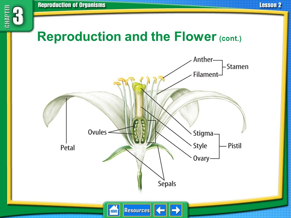 Reproduction and the Flower (cont.) The female reproductive organ of a flower is the pistil.