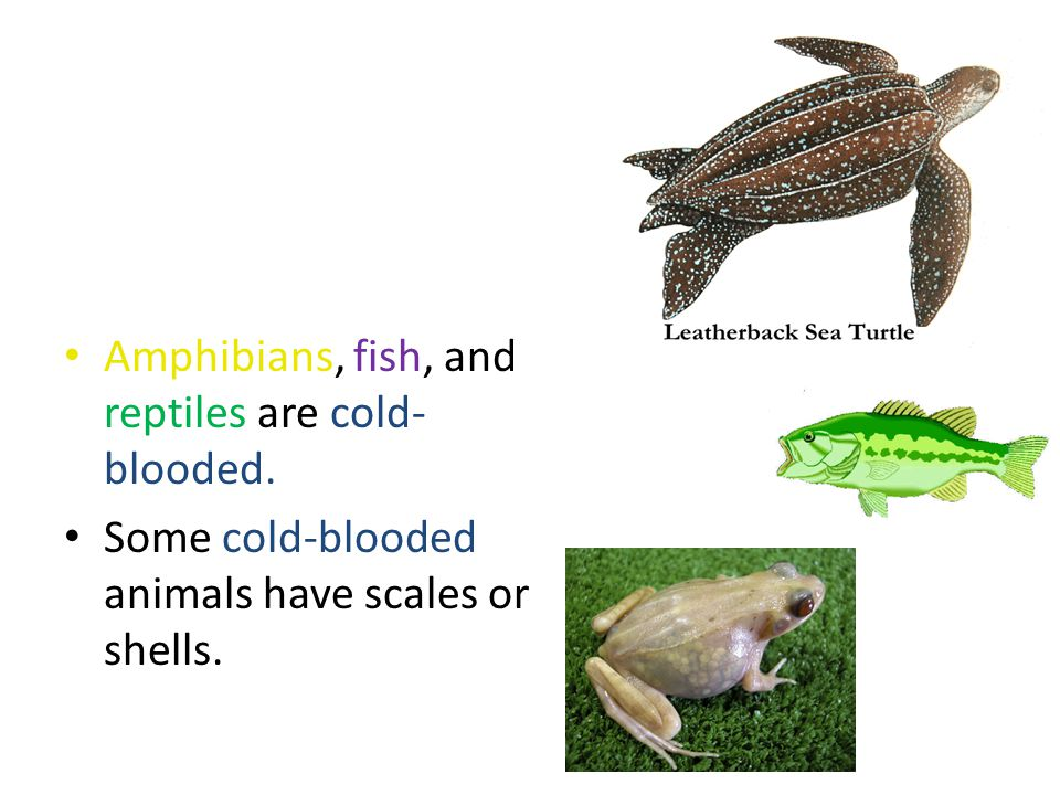 Amphibians, fish, and reptiles are cold- blooded. Some cold-blooded animals have scales or shells.