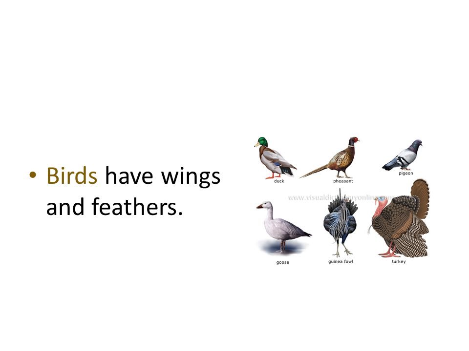Birds have wings and feathers.