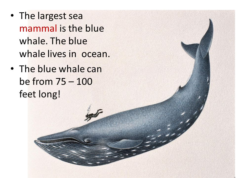 The largest sea mammal is the blue whale.The blue whale lives in ocean.
