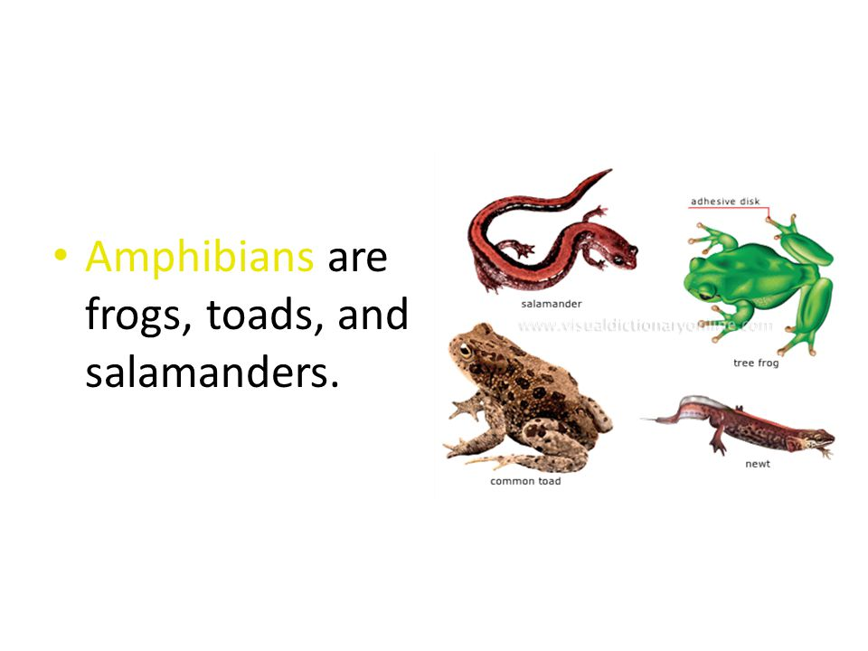 Amphibians are frogs, toads, and salamanders.