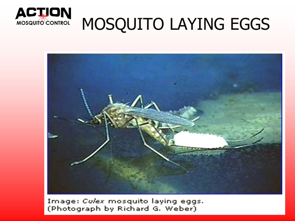 MOSQUITO BIOLOGY Eggs laid directly on water usually hatch within 2 or 3 days Eggs laid by the tree hole or flood water species – in pockets that will later fill with water – can survive up to 5 years without hatching if water is not present