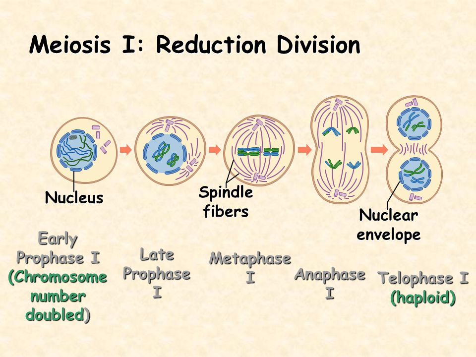 Meiosis I: Reduction Division Nucleus Spindlefibers Nuclearenvelope Early Prophase I (Chromosome number doubled) Late Prophase I Metaphase I Anaphase