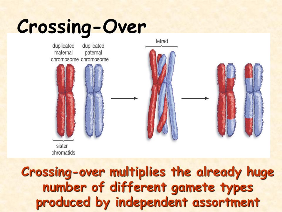 Crossing-over multiplies the already huge number of different gamete types produced by independent assortment Crossing-Over