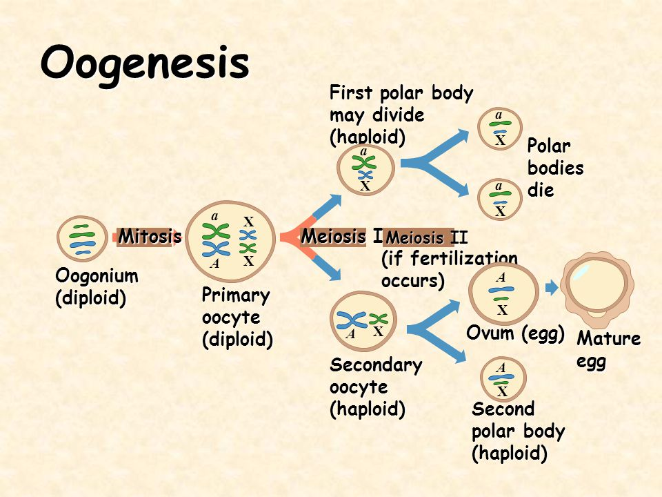 Oogenesis Oogonium(diploid) Mitosis Primaryoocyte(diploid) Meiosis I Secondaryoocyte(haploid) Meiosis II (if fertilization occurs) First polar body ma