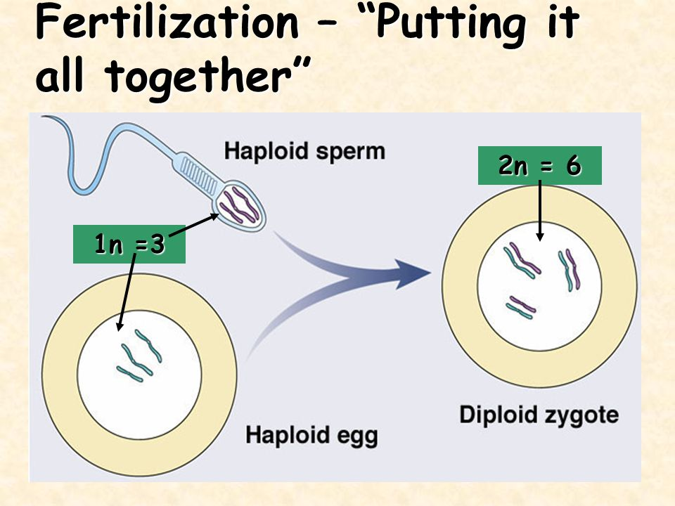 Fertilization – Putting it all together 1n =3 2n = 6