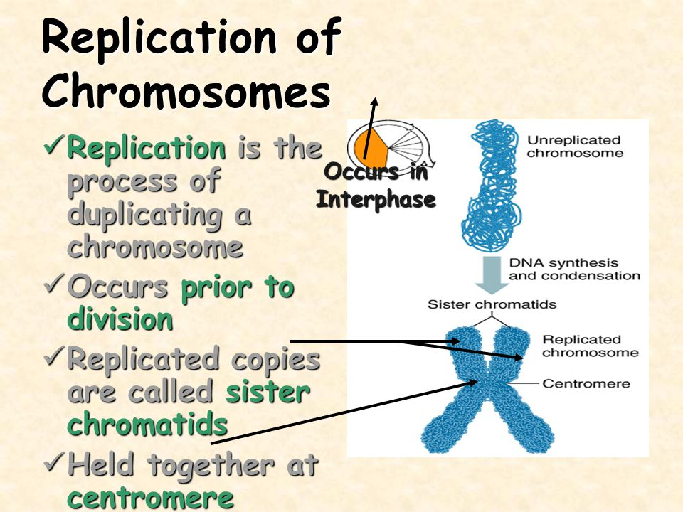 Spermatogenesis Occurs in the testes Occurs in the testes Two divisions produce 4 spermatids Two divisions produce 4 spermatids Spermatids mature into sperm Spermatids mature into sperm Men produce about 250,000,000 sperm per day Men produce about 250,000,000 sperm per day