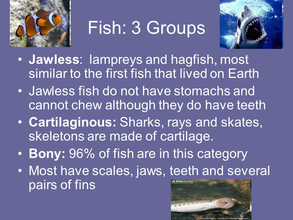 Fish: 3 Groups Jawless: lampreys and hagfish, most similar to the first fish that lived on Earth Jawless fish do not have stomachs and cannot chew alt
