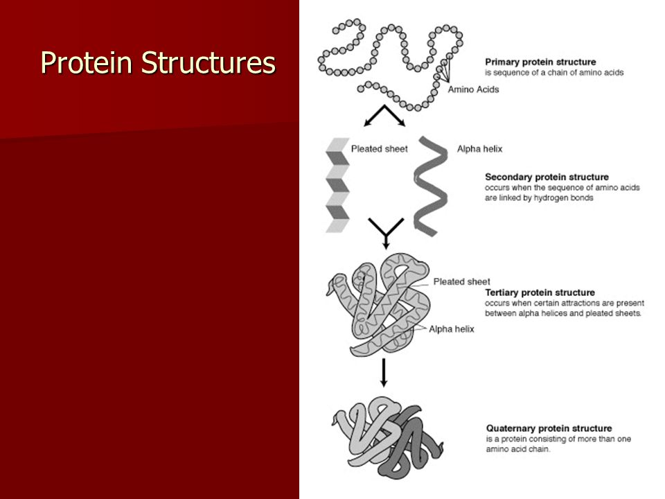 Structure and Function of Proteins A proteins shape determines its function.