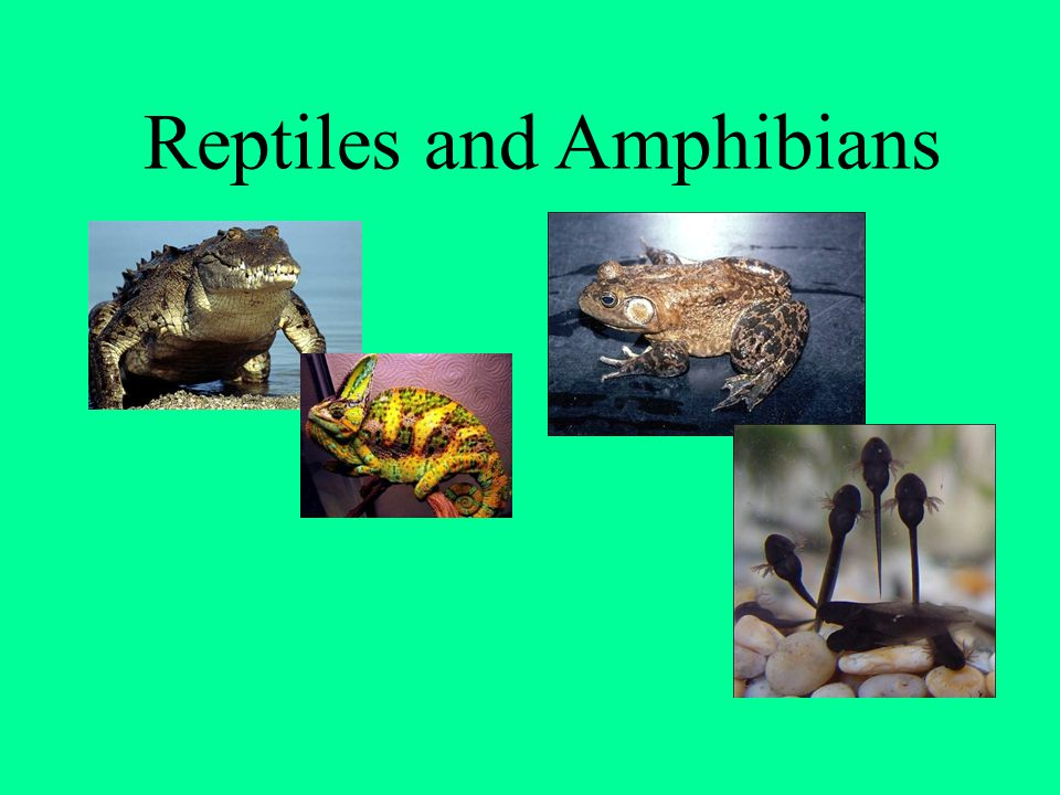 Amphibians Lay Their Eggs in Water Amphibian eggs dont have shells.
