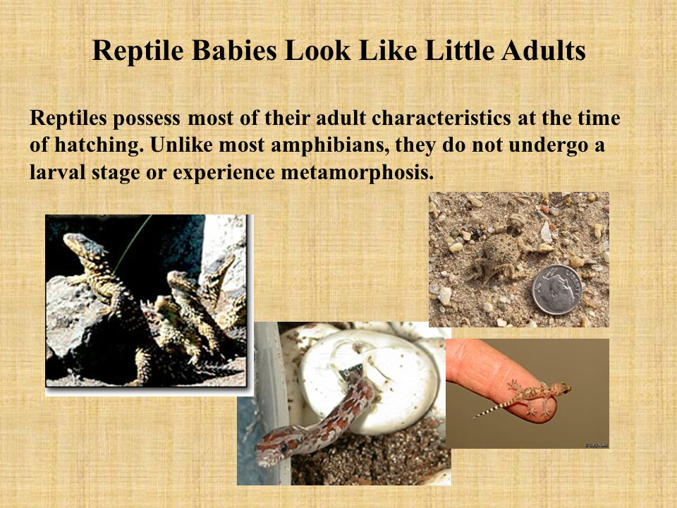 Reptile Babies Look Like Little Adults Reptiles possess most of their adult characteristics at the time of hatching. Unlike most amphibians, they do n