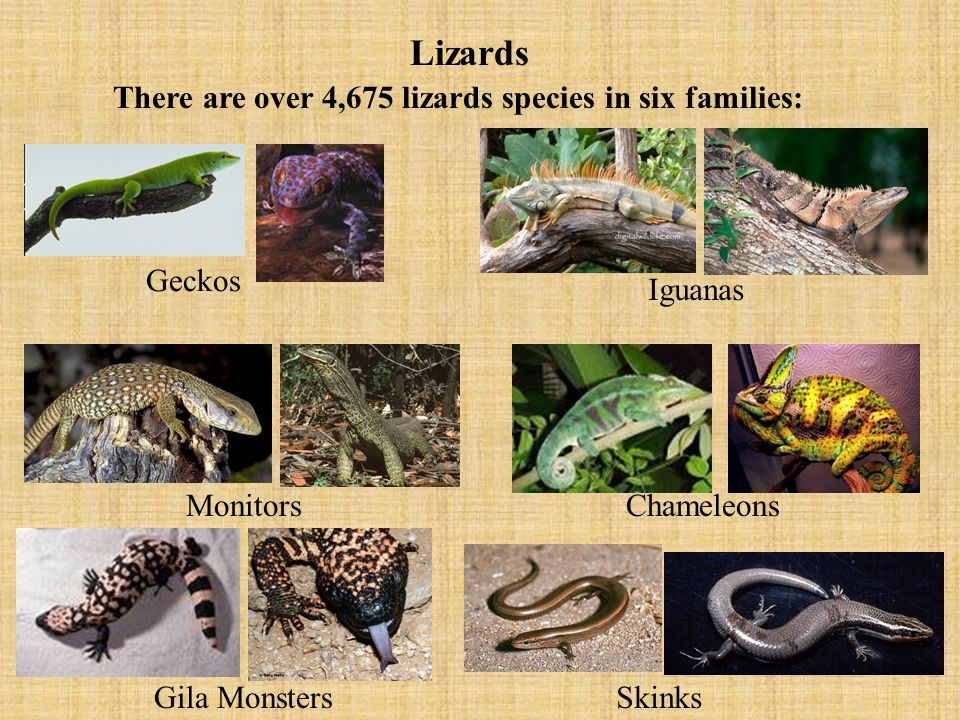 There are over 4,675 lizards species in six families: Iguanas Chameleons Monitors Skinks Geckos Gila Monsters Lizards