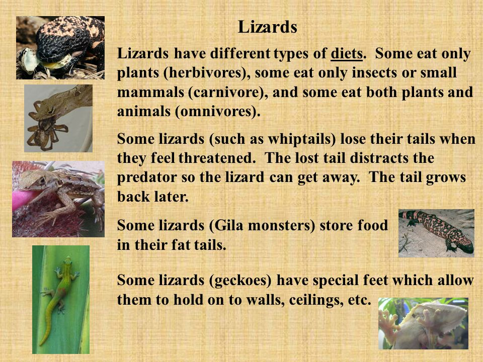 Lizards have different types of diets. Some eat only plants (herbivores), some eat only insects or small mammals (carnivore), and some eat both plants