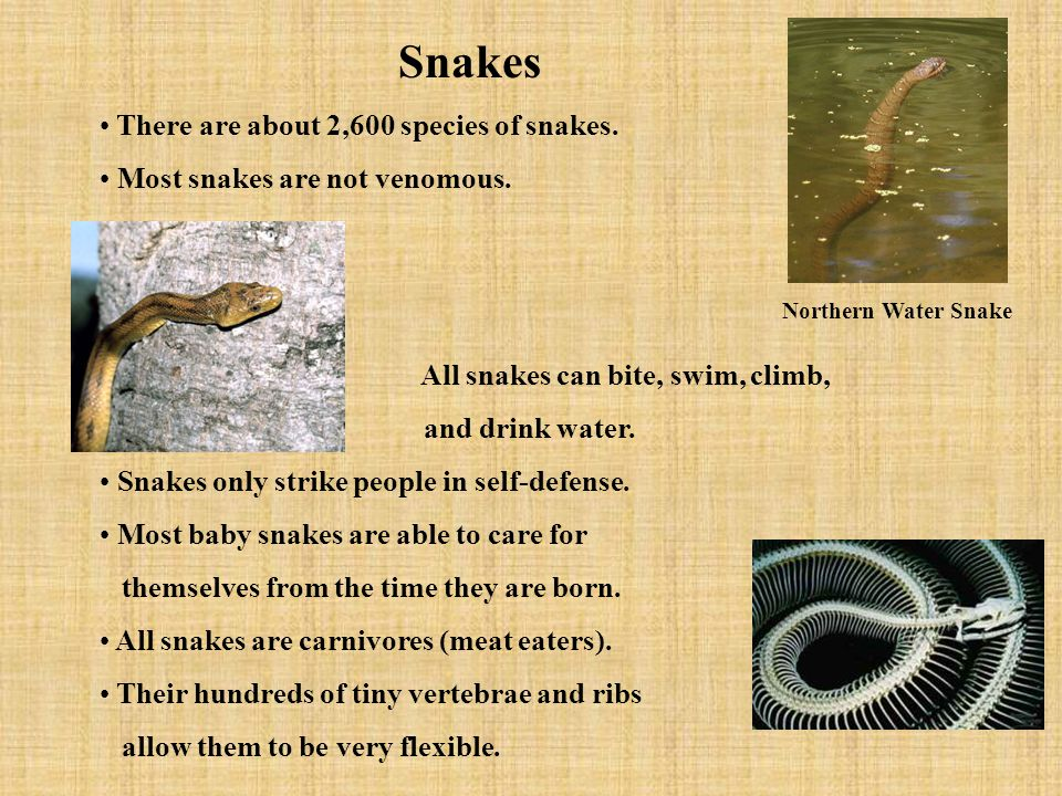 Snakes There are about 2,600 species of snakes. Most snakes are not venomous. All snakes can bite, swim, climb, and drink water. Snakes only strike pe
