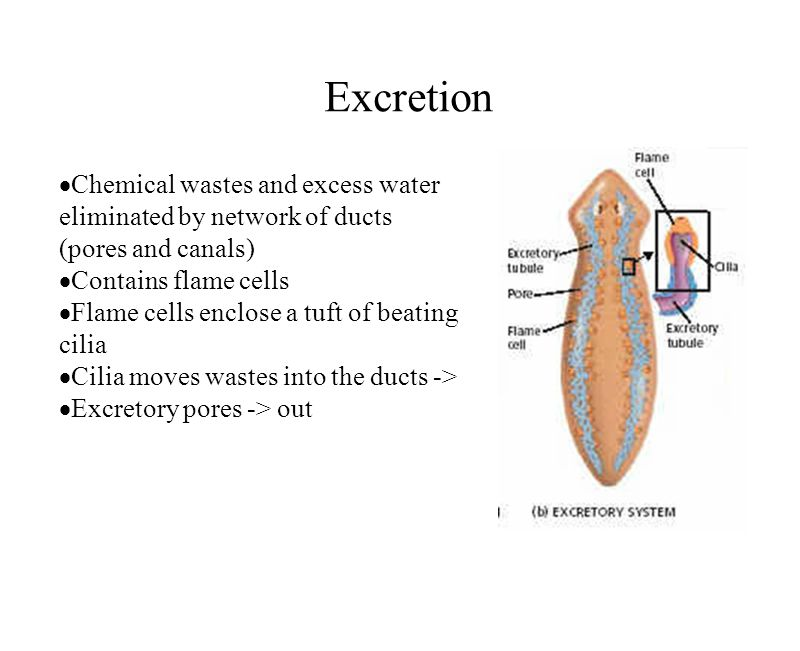 Excretion Chemical wastes and excess water eliminated by network of ducts (pores and canals) Contains flame cells Flame cells enclose a tuft of beatin