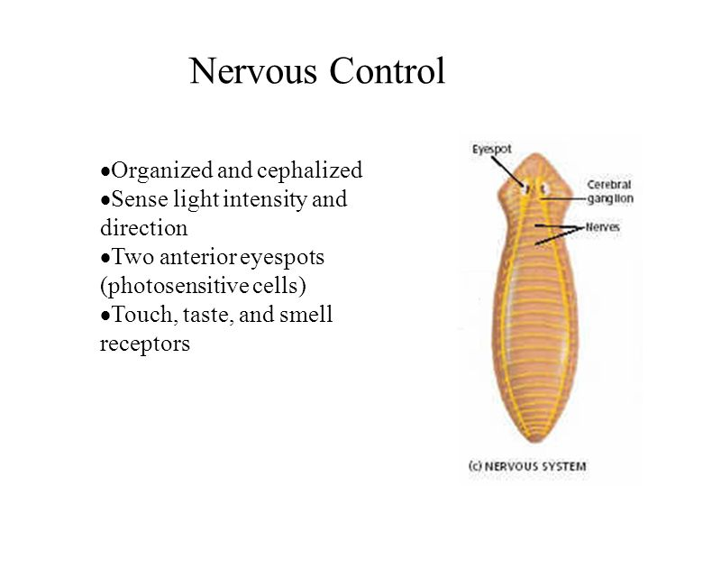 Nervous Control Organized and cephalized Sense light intensity and direction Two anterior eyespots (photosensitive cells) Touch, taste, and smell rece