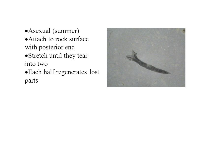 Asexual (summer) Attach to rock surface with posterior end Stretch until they tear into two Each half regenerates lost parts