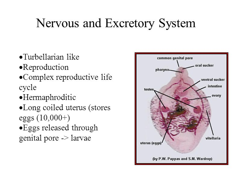 Nervous and Excretory System Turbellarian like Reproduction Complex reproductive life cycle Hermaphroditic Long coiled uterus (stores eggs (10,000+) E