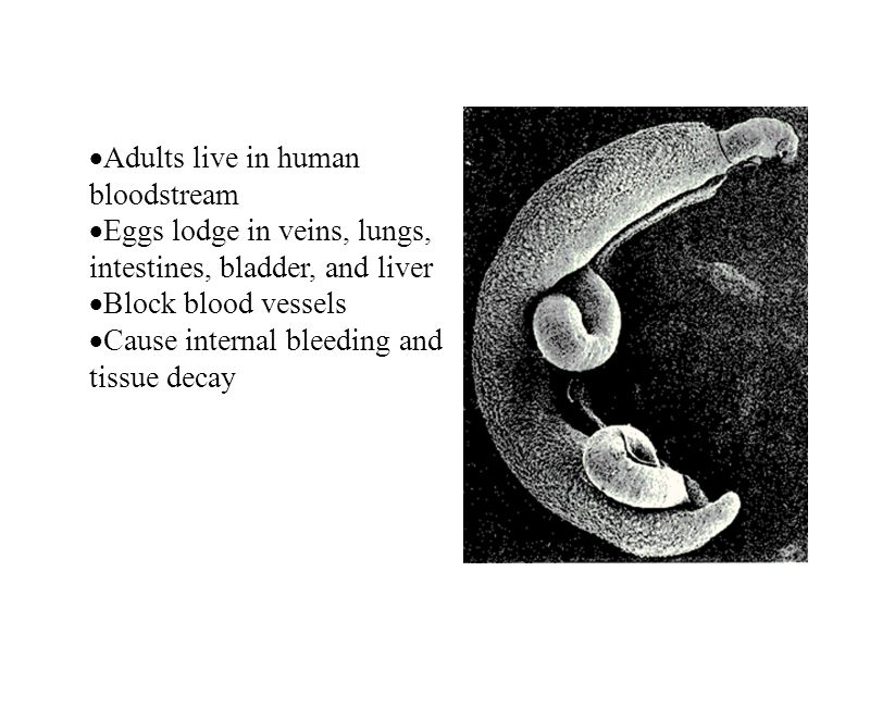 Adults live in human bloodstream Eggs lodge in veins, lungs, intestines, bladder, and liver Block blood vessels Cause internal bleeding and tissue dec