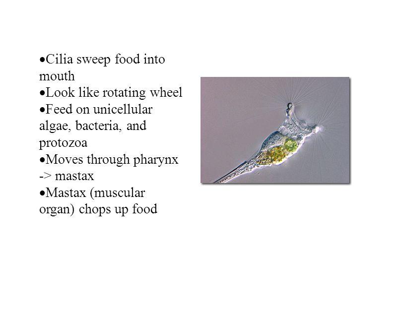 Cilia sweep food into mouth Look like rotating wheel Feed on unicellular algae, bacteria, and protozoa Moves through pharynx -> mastax Mastax (muscula