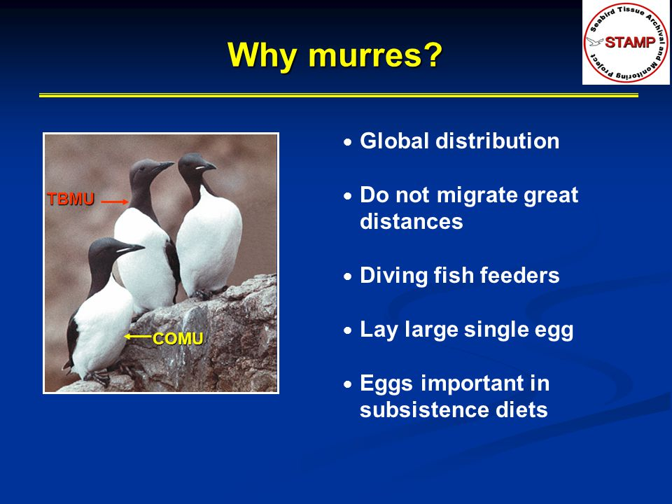 Why murres? Global distribution Do not migrate great distances Diving fish feeders Lay large single egg Eggs important in subsistence diets COMU TBMU