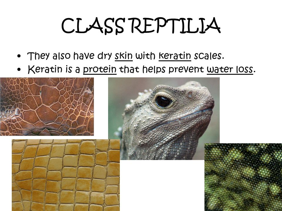 CLASS REPTILIA They also have dry skin with keratin scales. Keratin is a protein that helps prevent water loss.