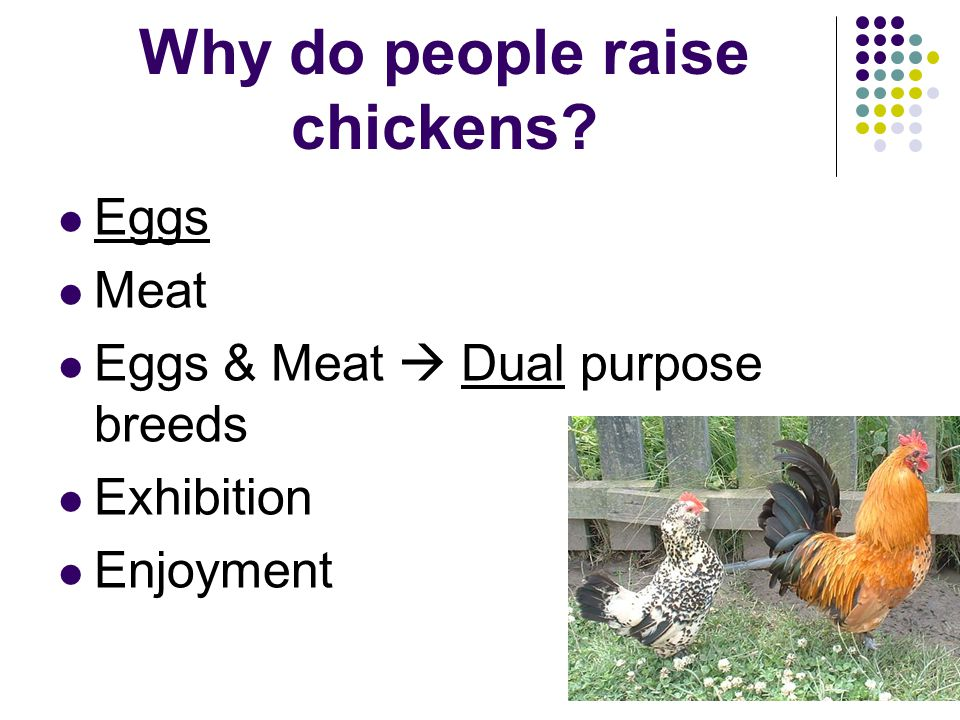 Why do people raise chickens? Eggs Meat Eggs & Meat Dual purpose breeds Exhibition Enjoyment