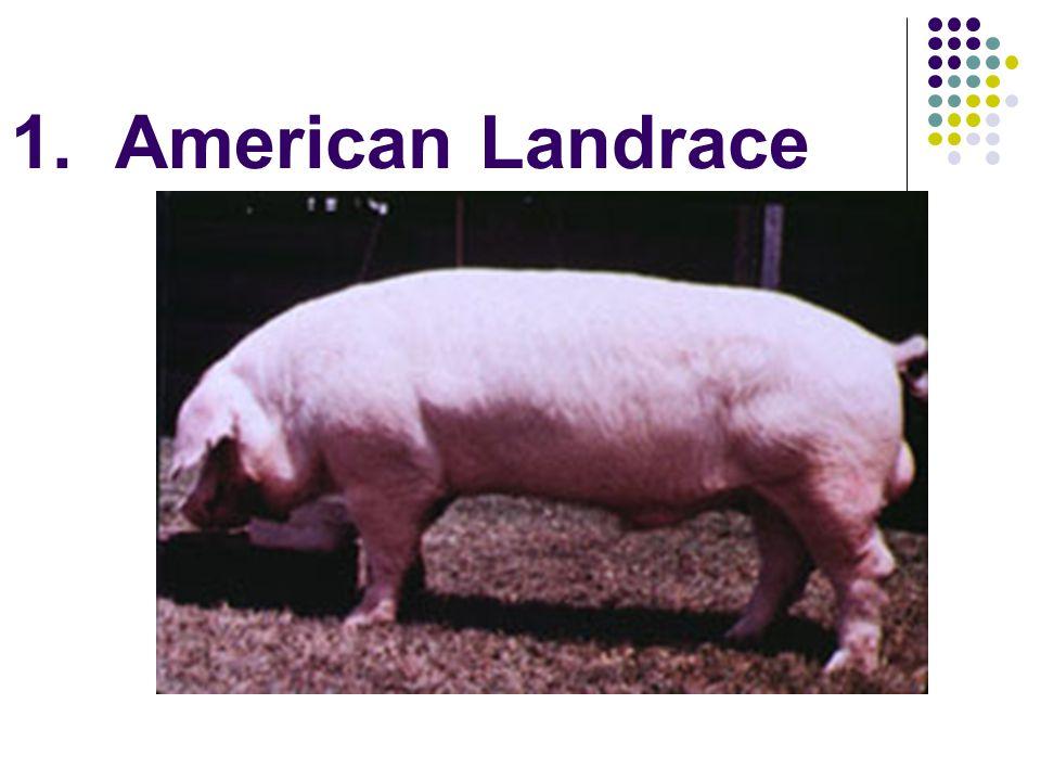 1. American Landrace