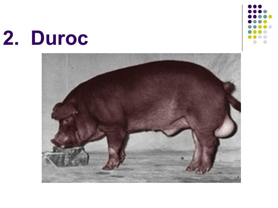 2. Duroc