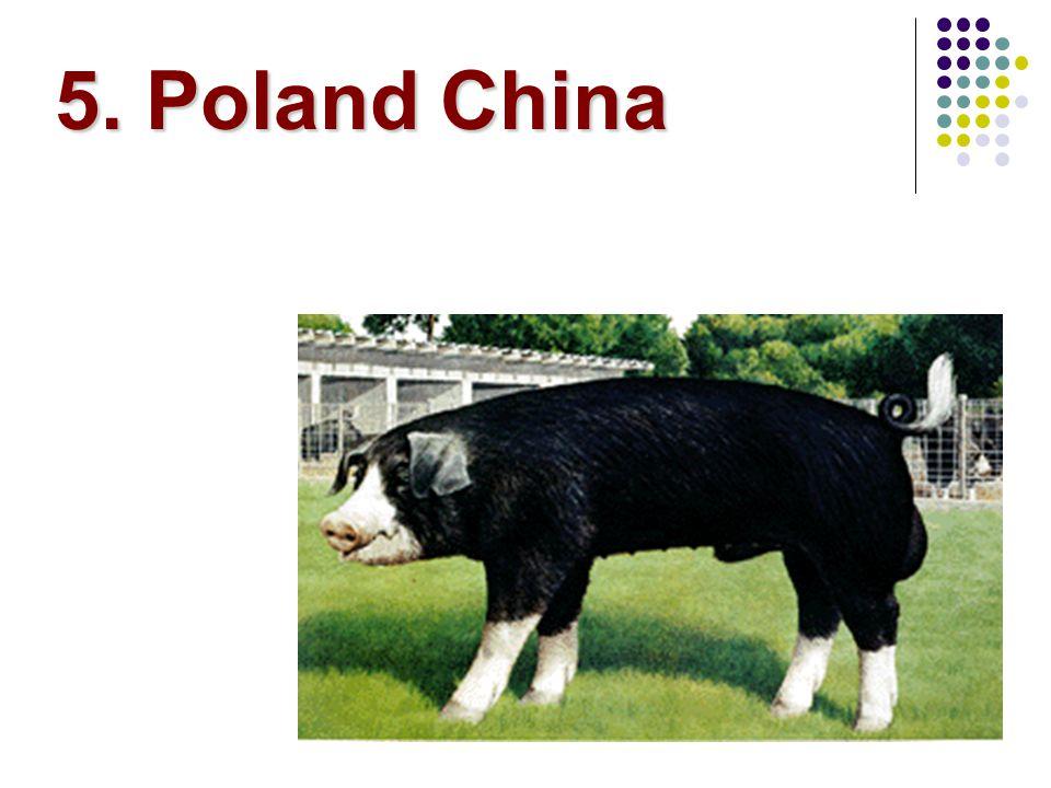 5. Poland China
